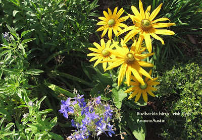 Annieinaustin, Irish Eyes rudbeckia