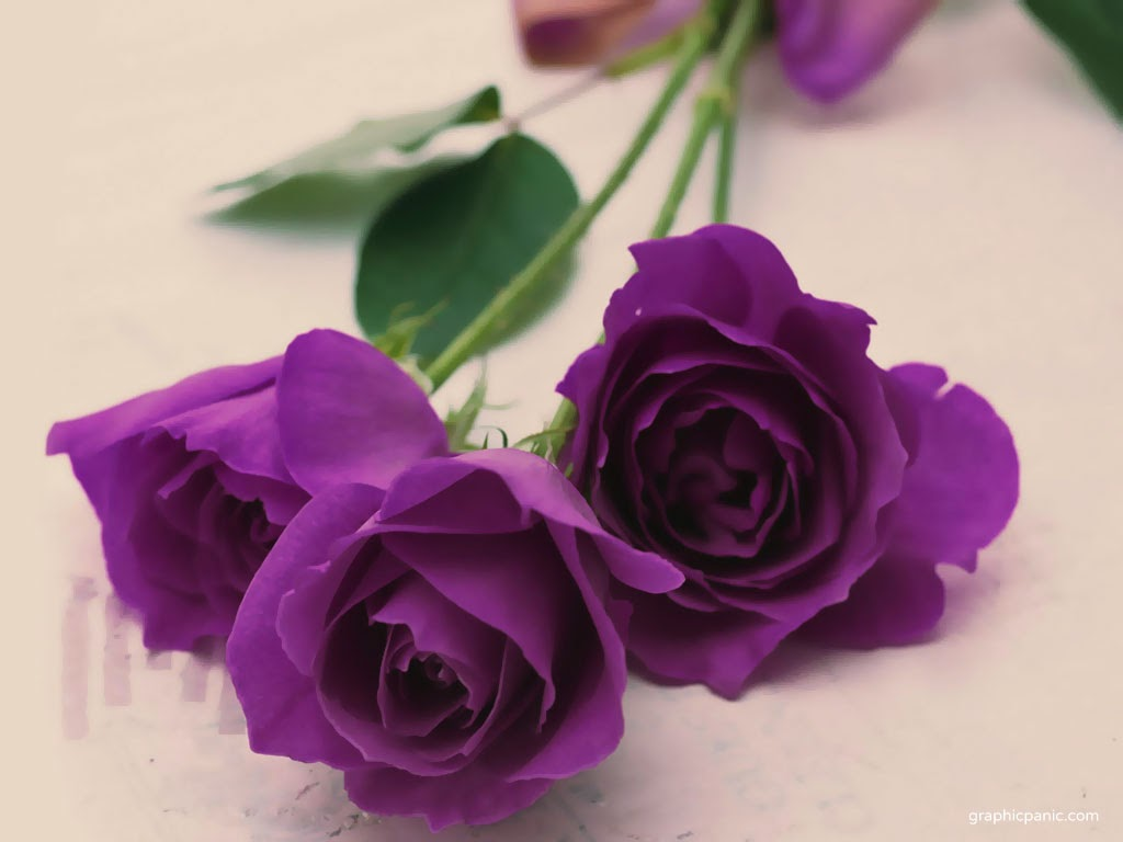Valentine 39 s day pictures 2013 december 2013 for Purple rose pictures