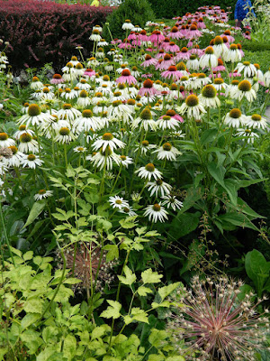 White Swan purple coneflower Echinacea purpurea at Toronto Botanical Garden by garden muses-not another Toronto gardening blog