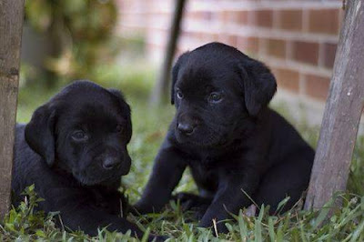 All About Training Labrador Puppies
