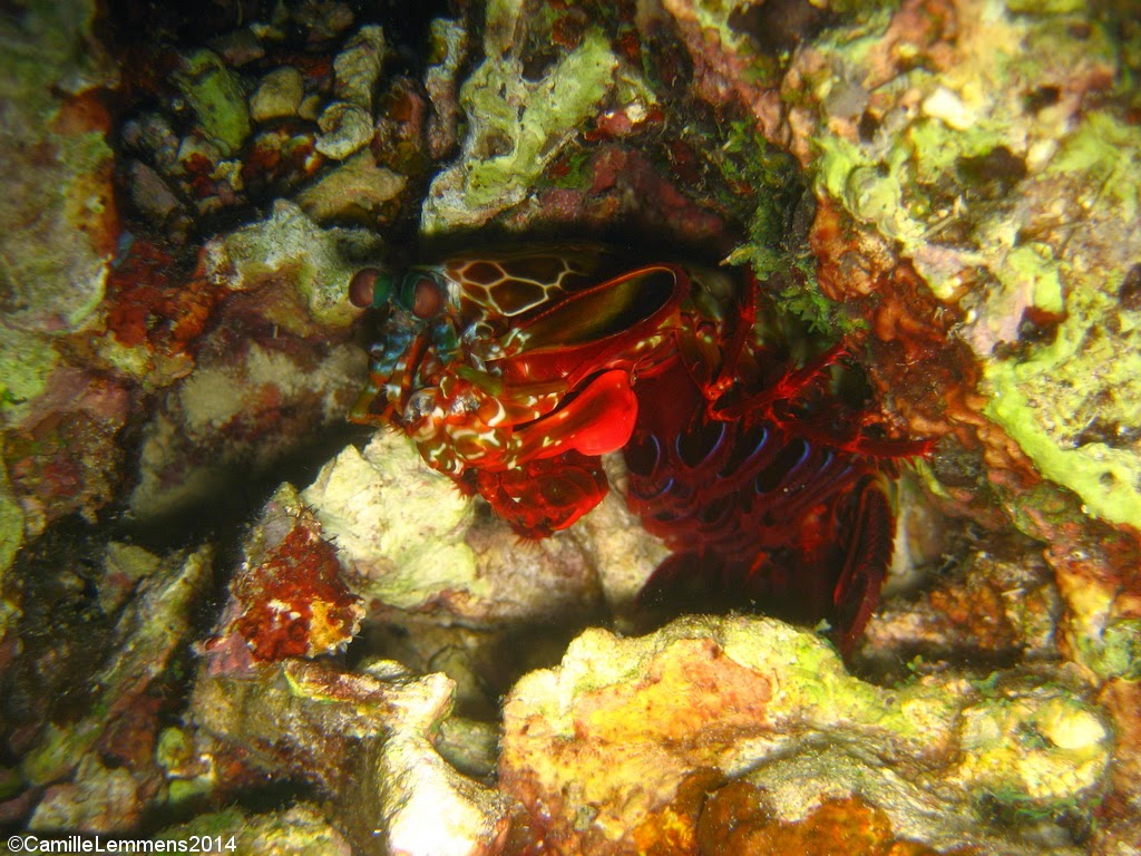 Mantis shrimp, Talisay, Panagsama beach, Moalboal, Philippines