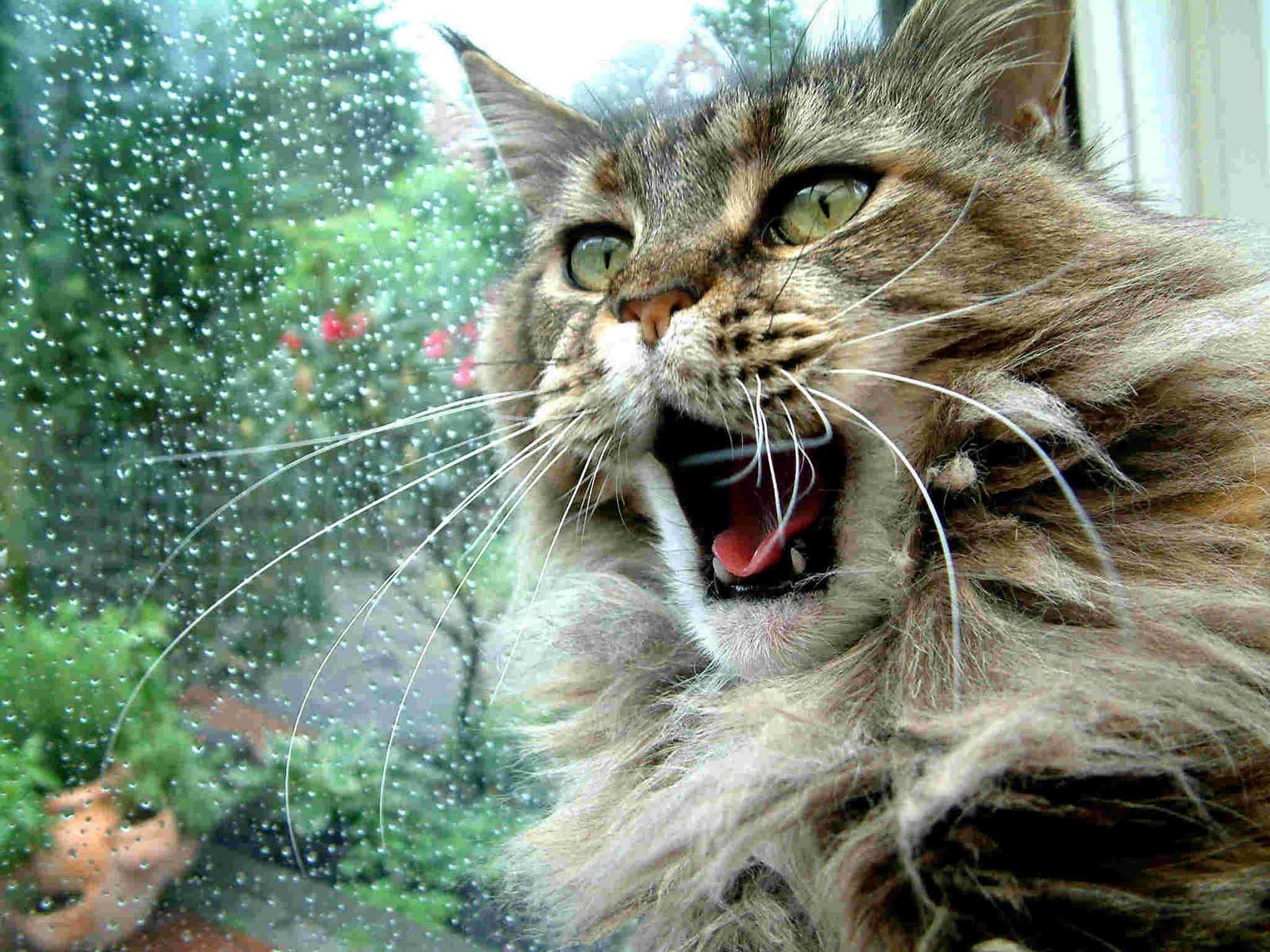 http://1.bp.blogspot.com/-WUOSUikK3QM/ThjyzGNyKTI/AAAAAAAAHmE/VbCMc9bbMeU/s1600/maine-coon-cats.jpg
