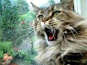 Maine Coon. Pet Cats Wallpaper. Maine Coon Cat Wallpaper