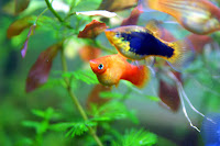 Platka - ryby akwariowe - 1