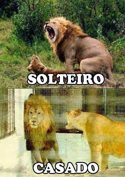 Diferencias entre un león soltero y un león casado.