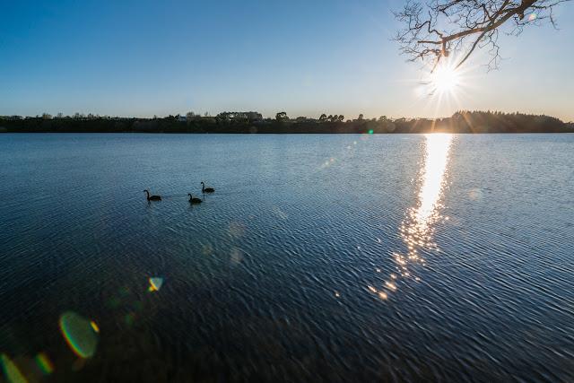 Swans sun flare Lake Karapiro