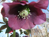 Deep Red Hellebore