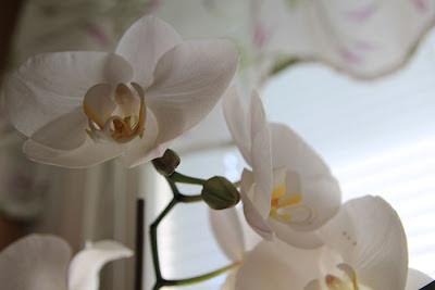 Valkoinen orkidea nuppuja