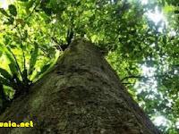 Indonesia Punya Pohon Ulin Terbesar Dunia