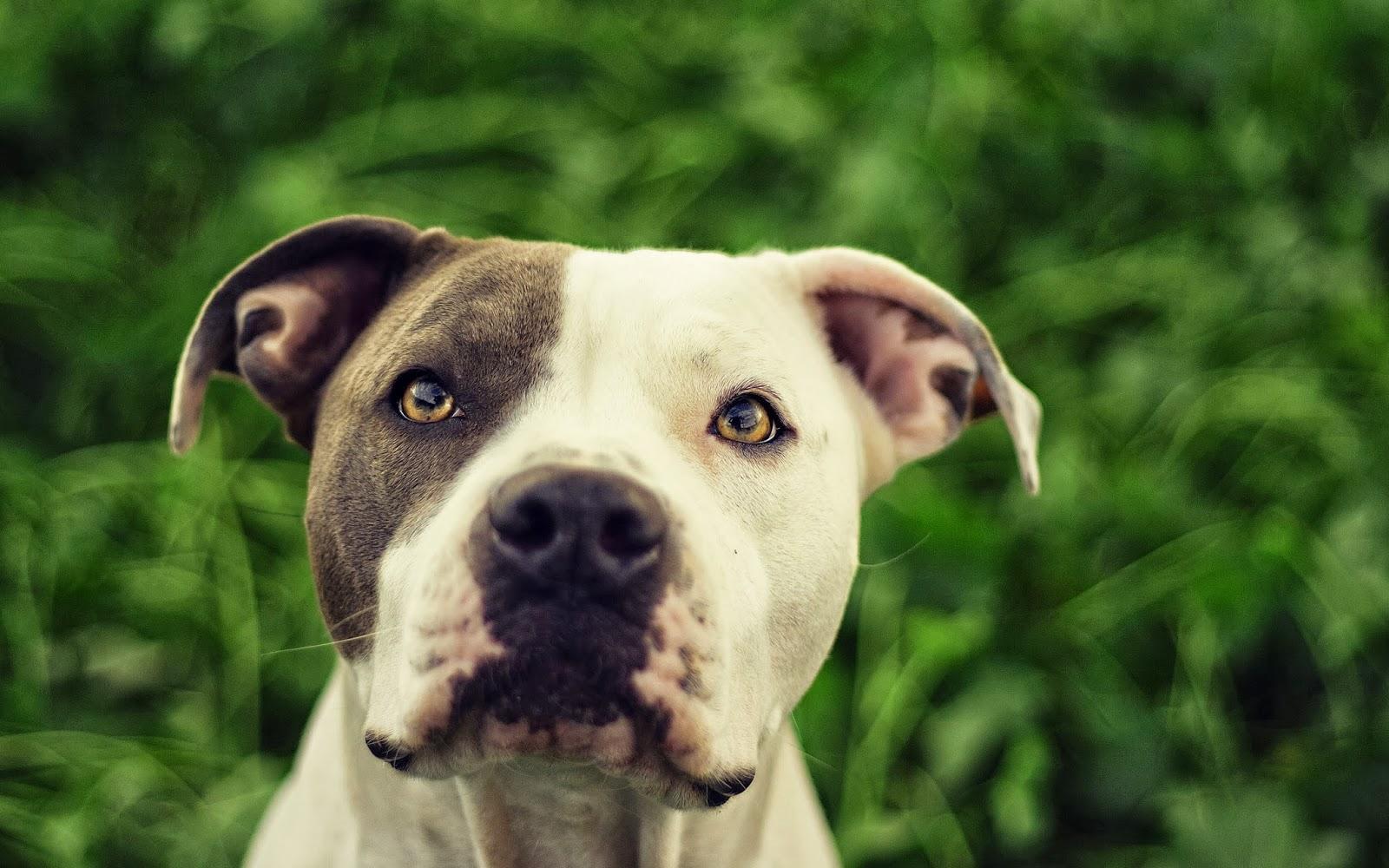 pit bull dogs wallpapers pitbull dog wallpaper hd