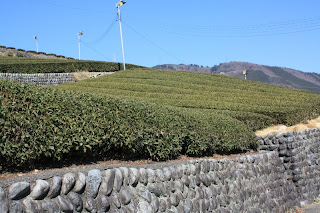 Japanese green tea fields are very dark before the fresh new leaves come out after Winter