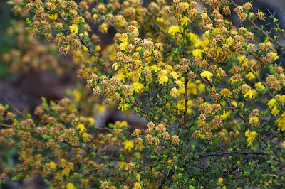 Tiny-leaved Wattle (Acacia lasiocarpa)