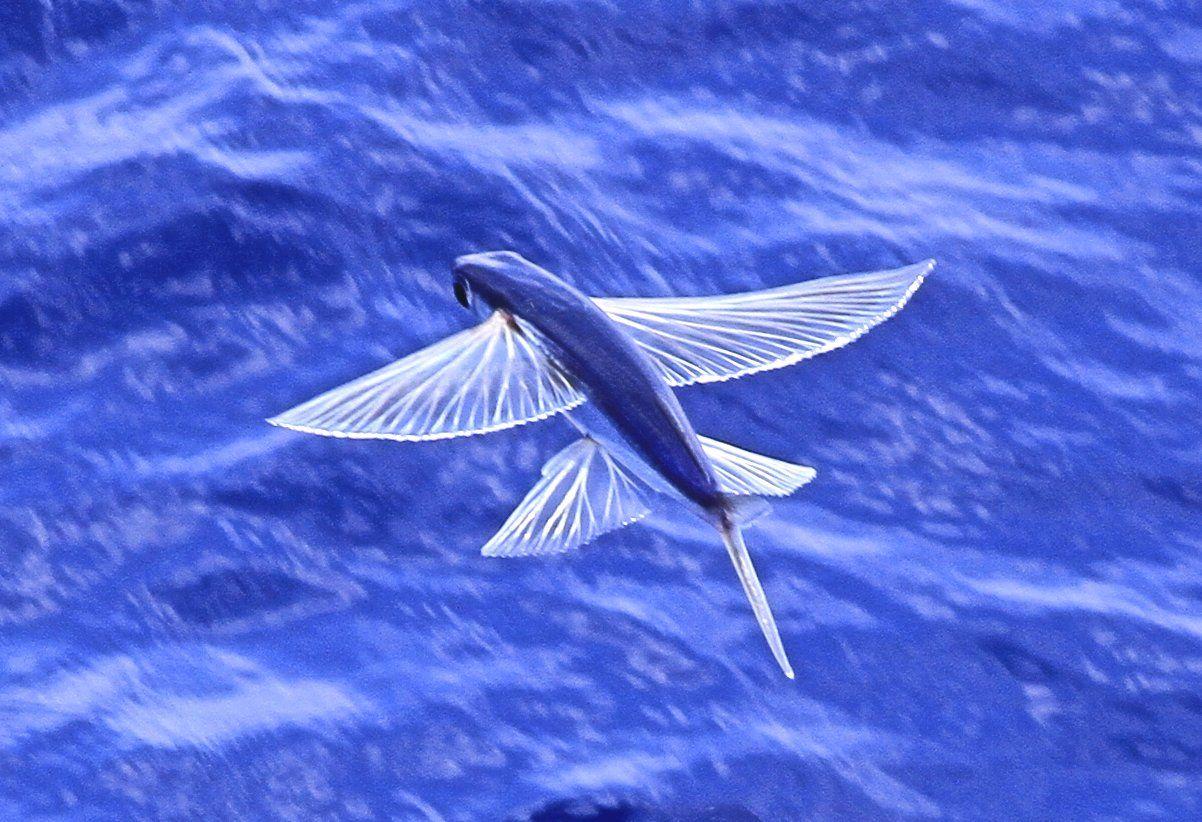 Old man of minsmere aka john richardson for The flying fish