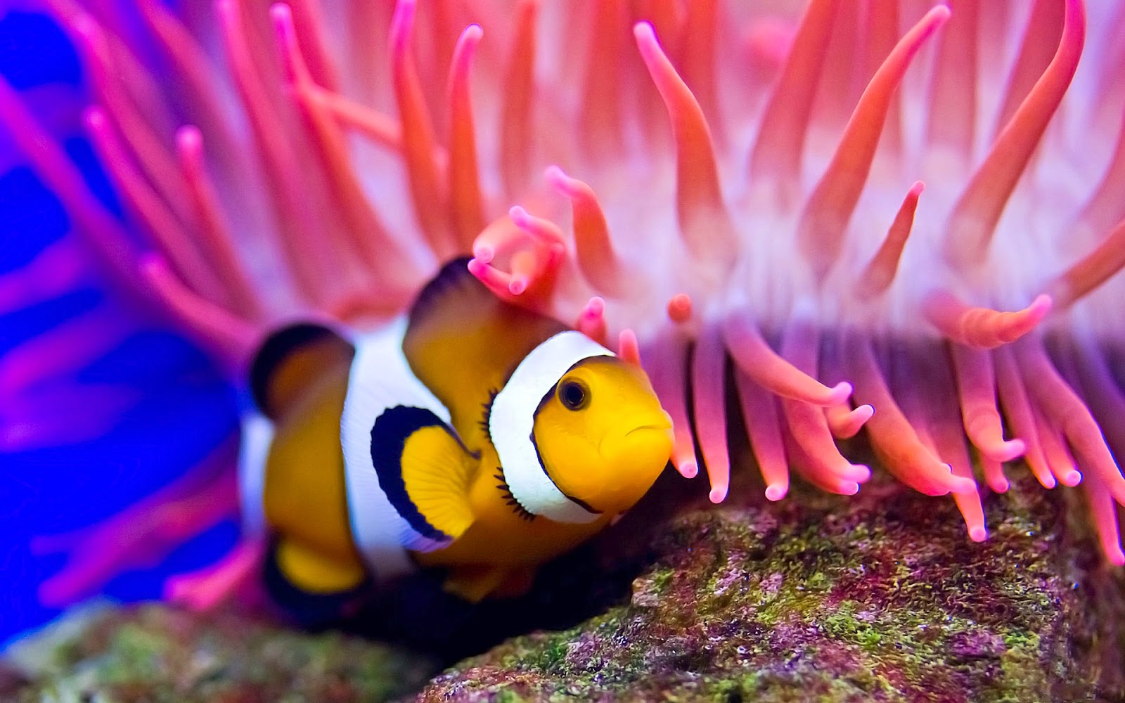 Desktop hd wallpapers free downloads for Pictures of clown fish