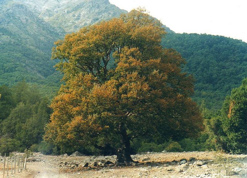 Bosque caducifolio ecosistemas for Fresno caracteristicas