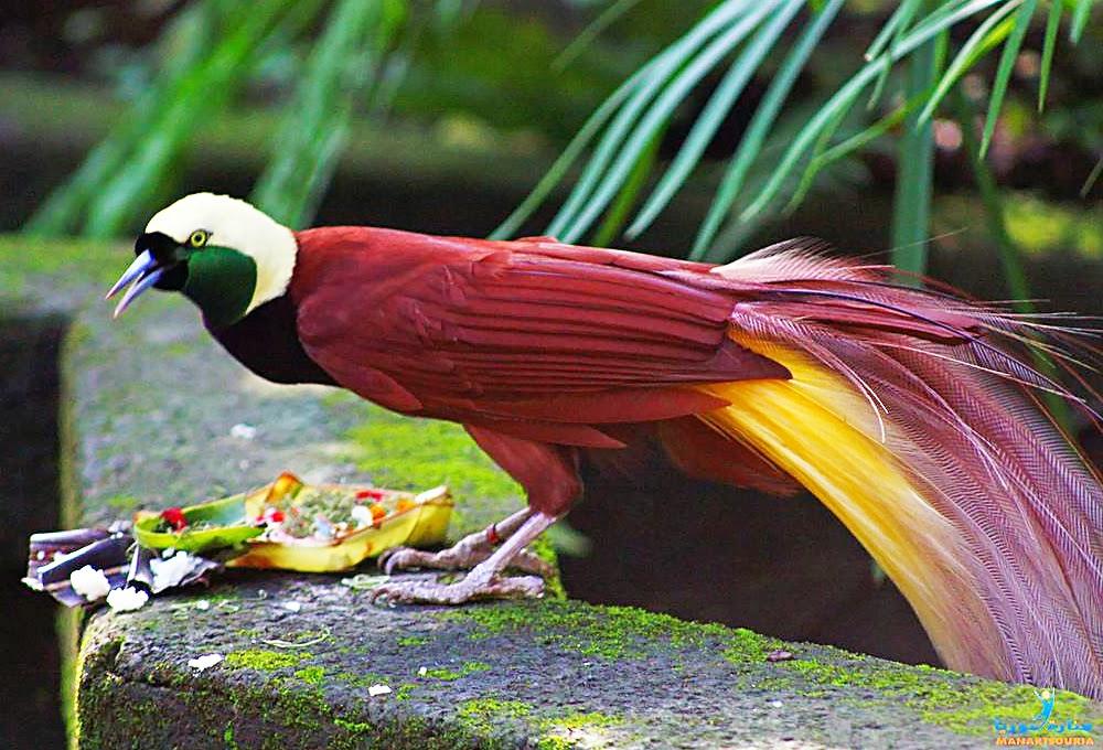 : birds of paradise new guinea