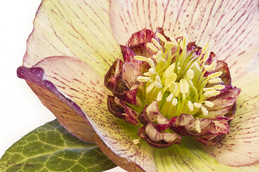 Hellebore anemone Picotee macro flower