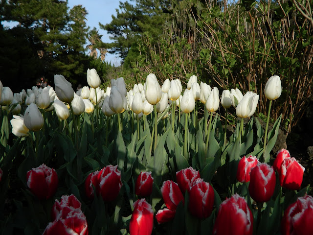 White tulips and red tulips with white tops