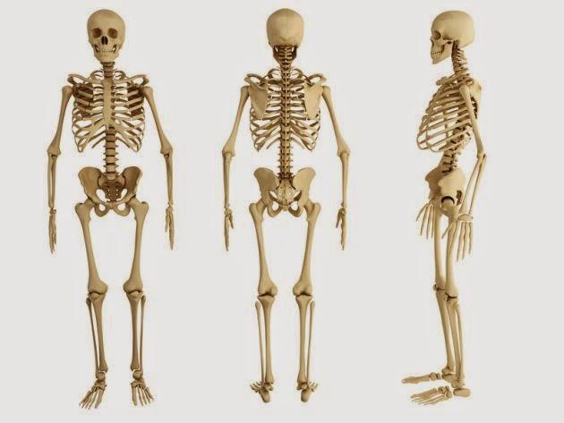 datos sobre el esqueleto humano