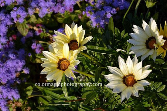 Light yellow Gazania and floss flower