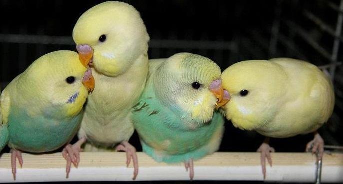 Muhabbet Kuşu, muhabbet kuşları, eğitimi, üremesi