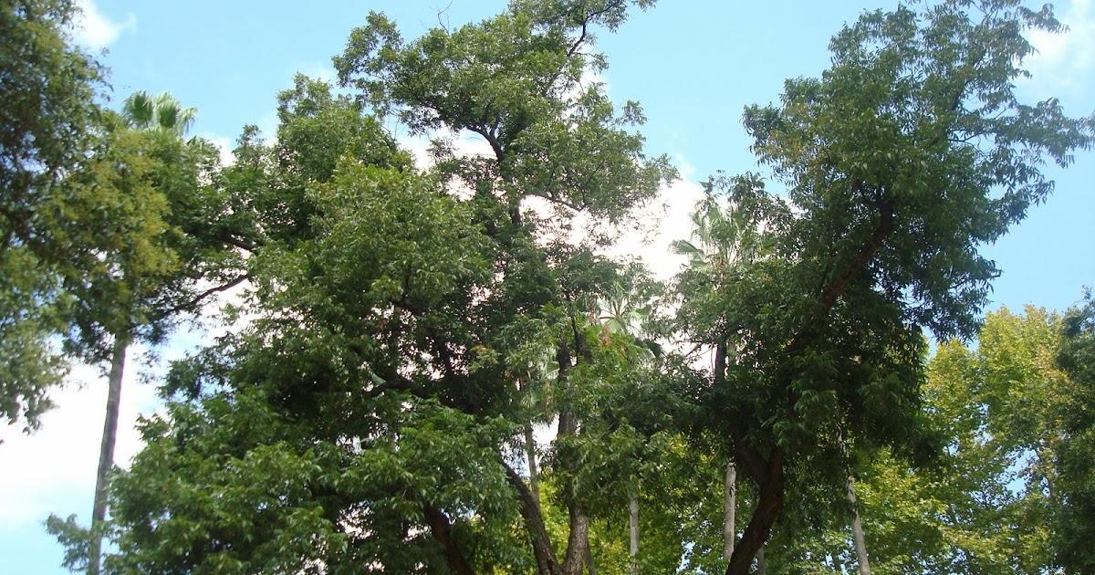 Parquealamillo encinarosa carya illionensis en el for Vivero del parque
