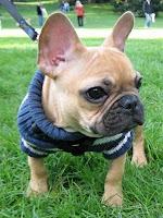 Piada de Francês, até o bulldog é uma!