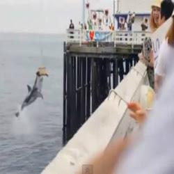 Tubarão devora foca no momento em que ela seria solta ao mar