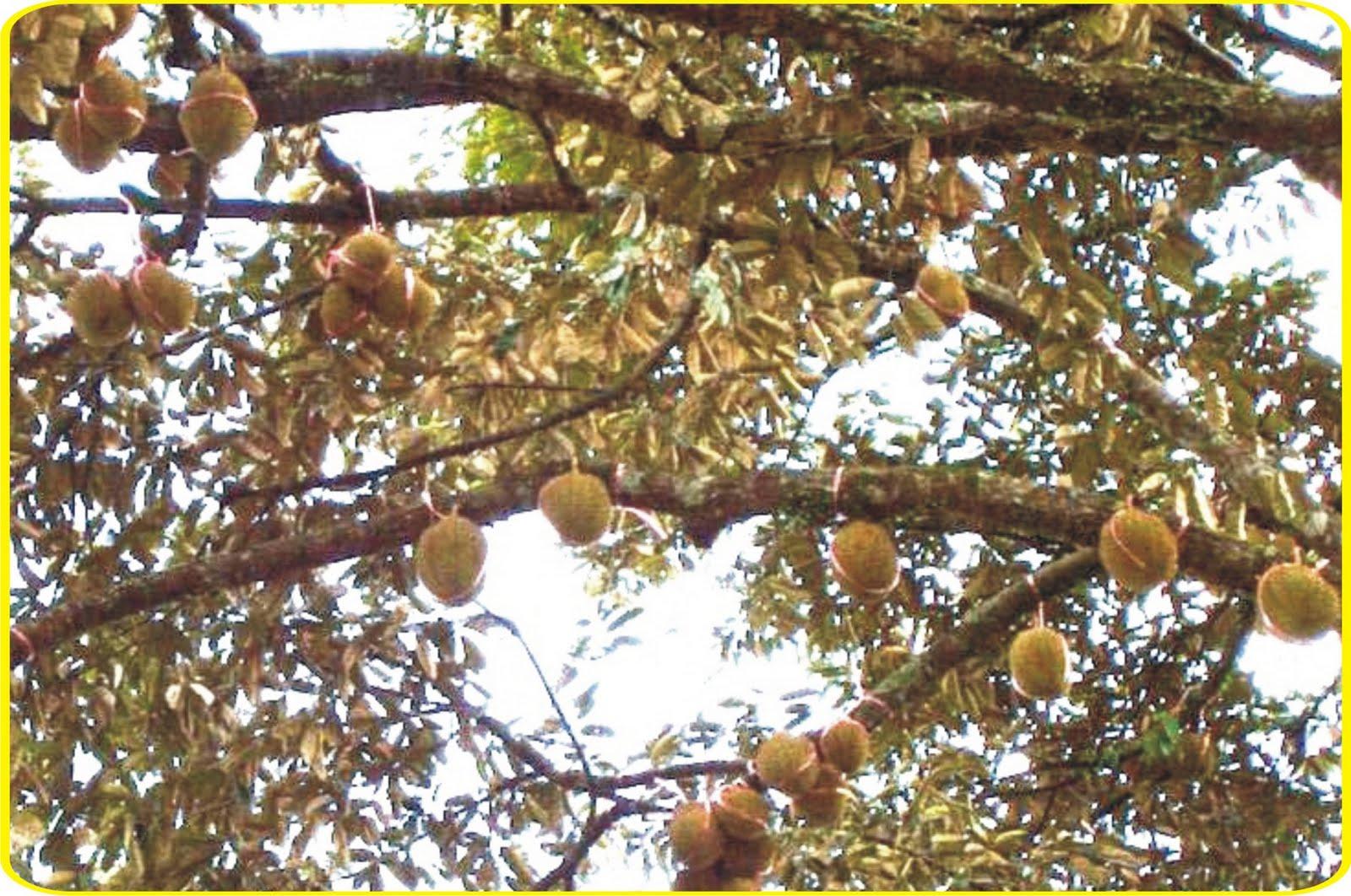 Durian Menoreh Kuning; Umur 160an tahun