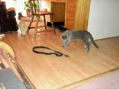 grey cat double checks belt