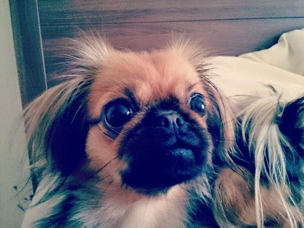 фото порода маленьких лохматых собак