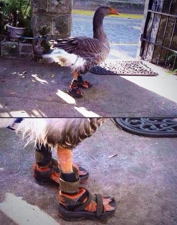 Photos: This duck is actually wearing shoes...