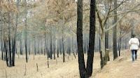 Bosque de pinos dañado por incendios forestales