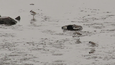 Ringed Plovers and two Dunlins