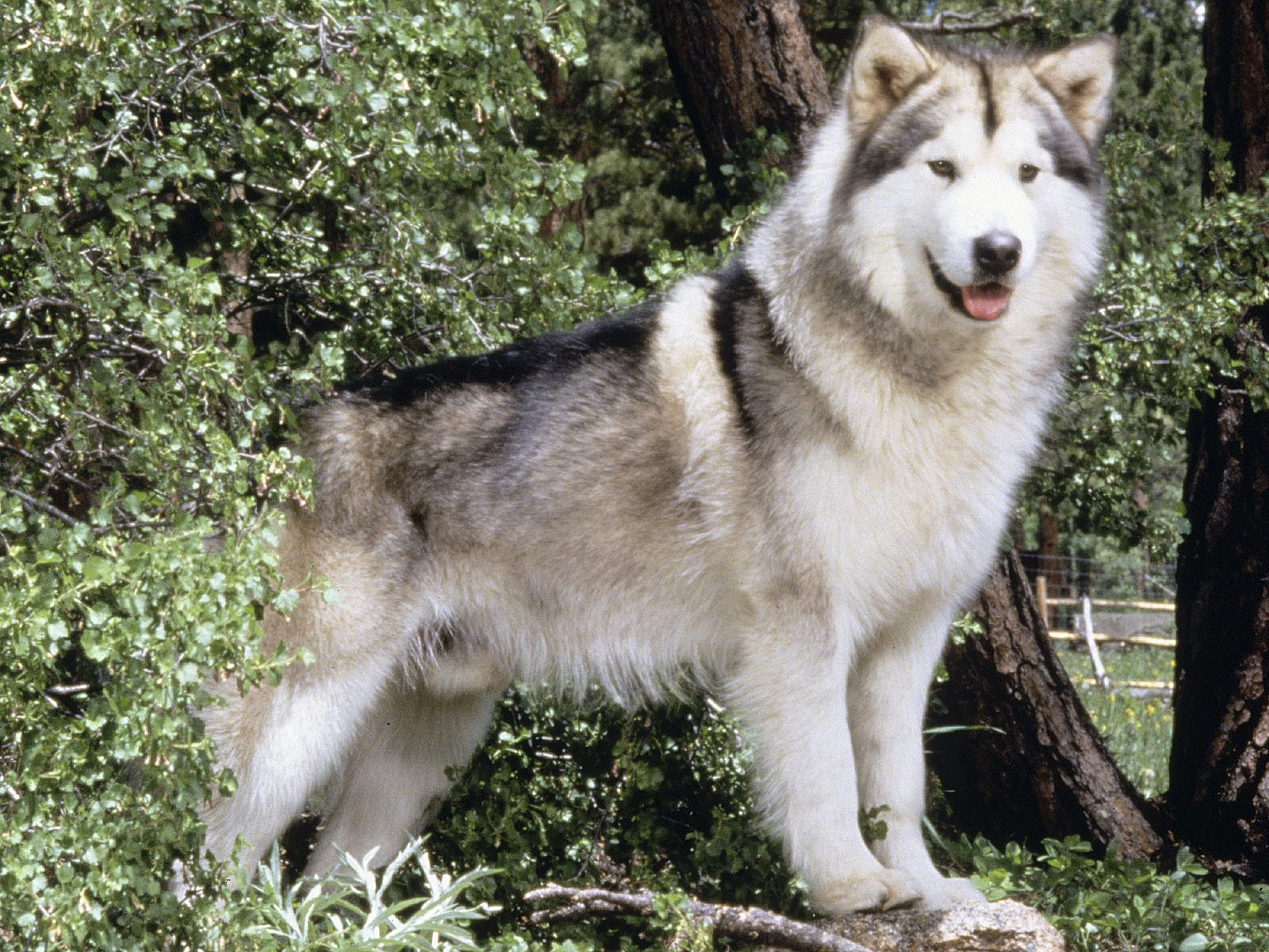 Giant Red Alaskan Malamute Wolf (page 2) - Pics about space