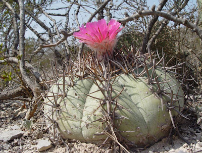Flowering Echinocactus horizonthalonius