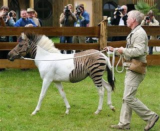 Zebroid = Zebra + Kuda