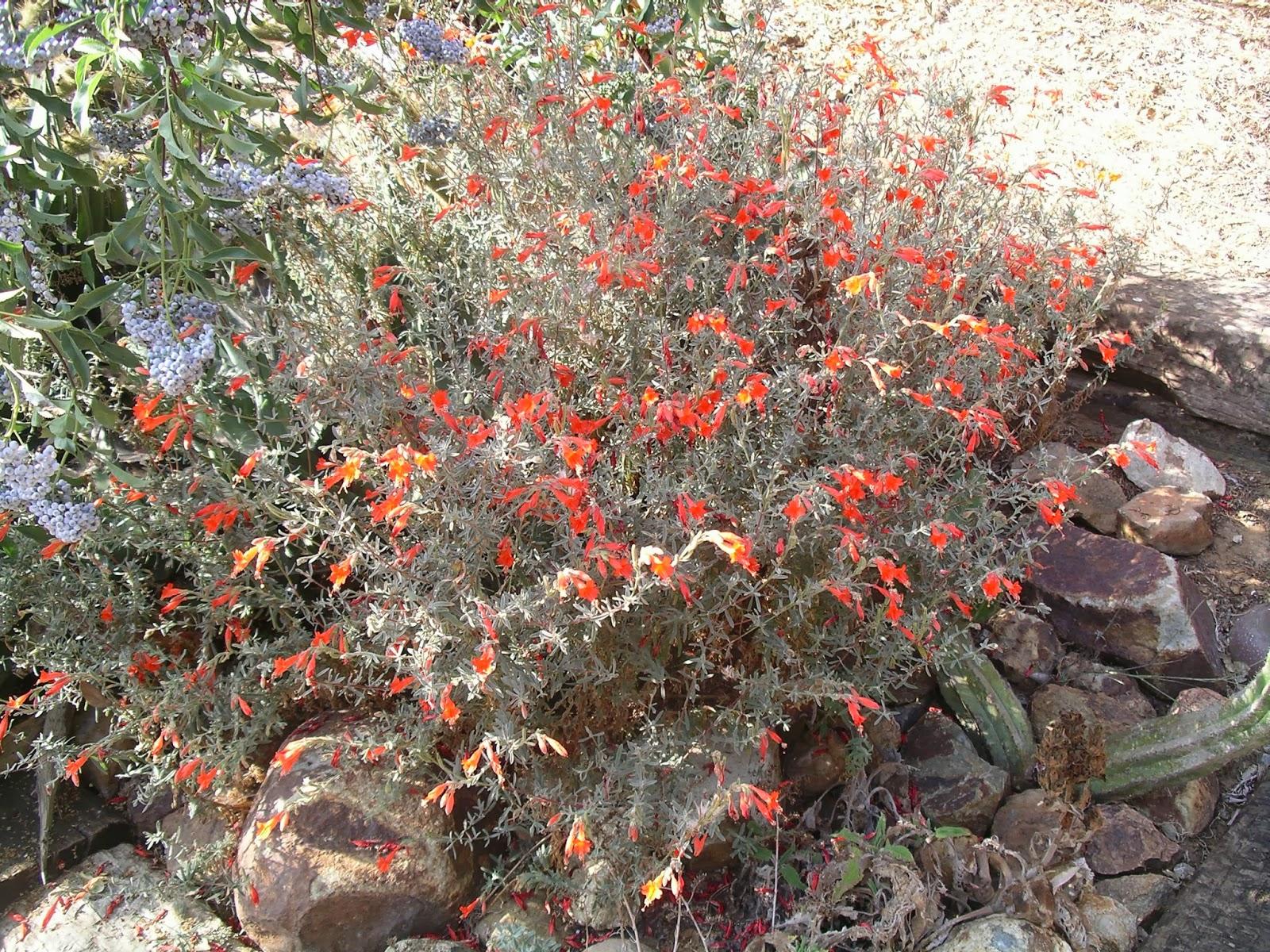 A California Native Plant Garden In San Diego County
