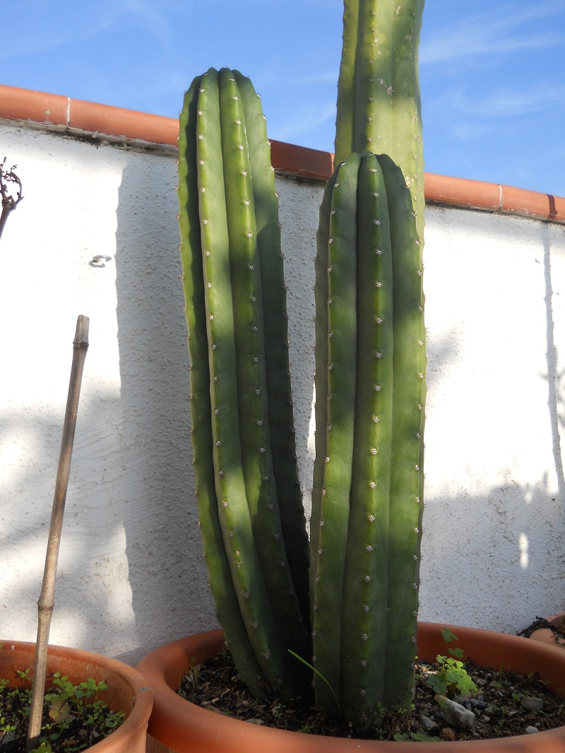 Plantas para hombres echinopsis pachanoi san pedro - Cactus cuidados interior ...