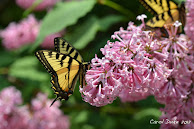 A Link to: Massachusetts Butterfly Club
