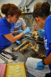 Students work with human bones in the lab.