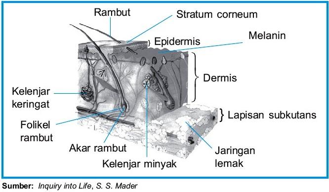 Pengertian dan fungsi kulit manusia struktur anatomi kulit ccuart Images