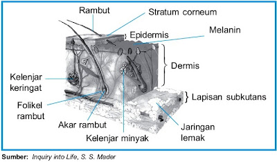 Struktur anatomi kulit