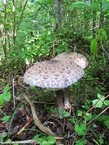 гриб-зонтик, макролепиота, macrolepiota, rhacodes, рецепт приготовления, фото
