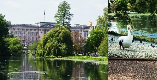 Buckingham Palace Pelican St. James's Park London