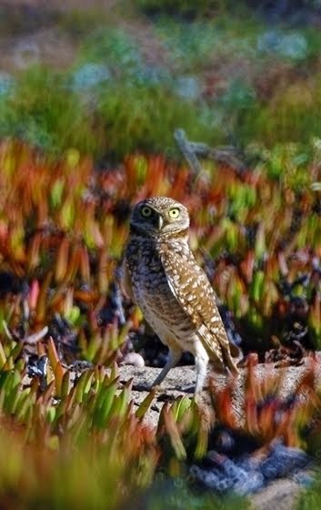 Burrowing Owl 5736