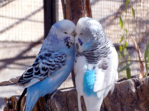 wallpapers of love birds. wallpapers of love birds.