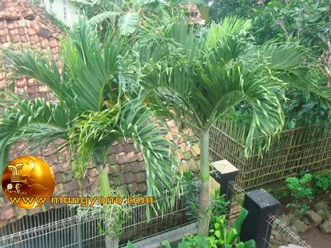 Anggrek ditanam / ditempel pada pohon palem.