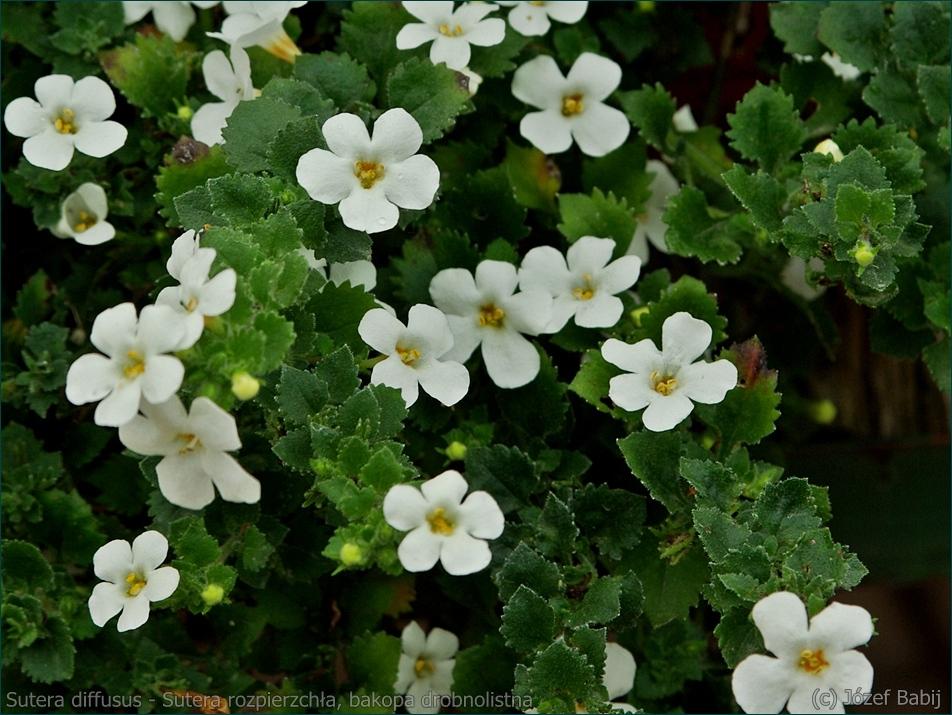 Sutera diffusus flower - Sutera rozpierzchła, bakopa drobnolistna