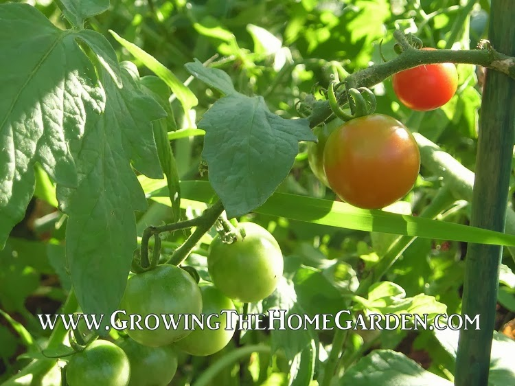Tomatoes are great in edible gardens!